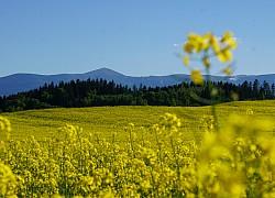 Panorama Karkonoszy w polu rzepakowym | fot. Tenet